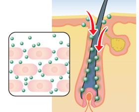 ナノ化で毛母細胞に浸透