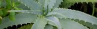 【自然派手作り育毛剤】アロエ酒、みかん酒 育毛剤の作り方・使い方